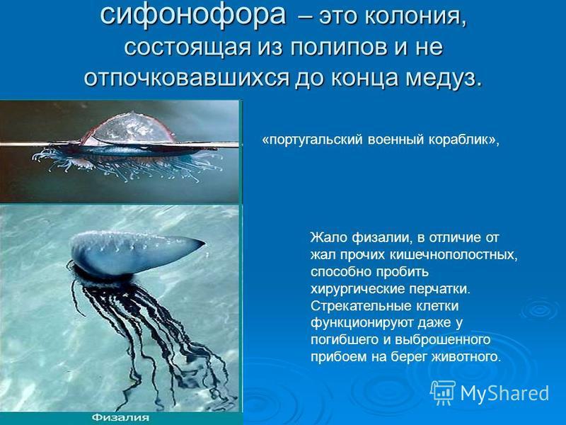 сифонофора – это колония, состоящая из полипов и не отпочковавшихся до конца медуз. «португальский военный кораблик», Жало физалии, в отличие от жал прочих кишечнополостных, способно пробить хирургические перчатки. Стрекательные клетки функционируют