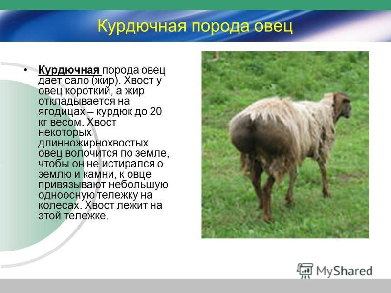 Курдючная порода овец Курдючная порода овец дает сало (жир). Хвост у овец короткий, а жир откладывается на ягодицах – курдюк до 20 кг весом. Хвост некоторых длинножирнохвостых овец волочится по земле, чтобы он не истирался о землю и камни, к овце при