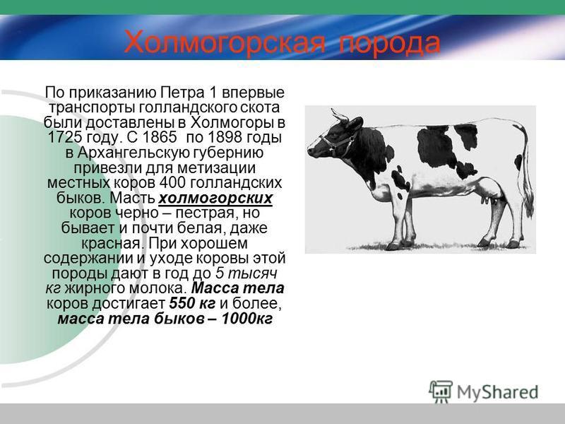 Холмогорская порода По приказанию Петра 1 впервые транспорты голландского скота были доставлены в Холмогоры в 1725 году. С 1865 по 1898 годы в Архангельскую губернию привезли для метизации местных коров 400 голландских быков. Масть холмогорских коров