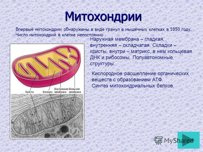 Митохондрии Впервые митохондрии обнаружены в виде гранул в мышечных клетках в 1850 году. Число митохондрий в клетке непостоянно Наружная мембрана – гладкая, внутренняя – складчатая. Складки – кристы, внутри – матрикс, в нем кольцевая ДНК и рибосомы.