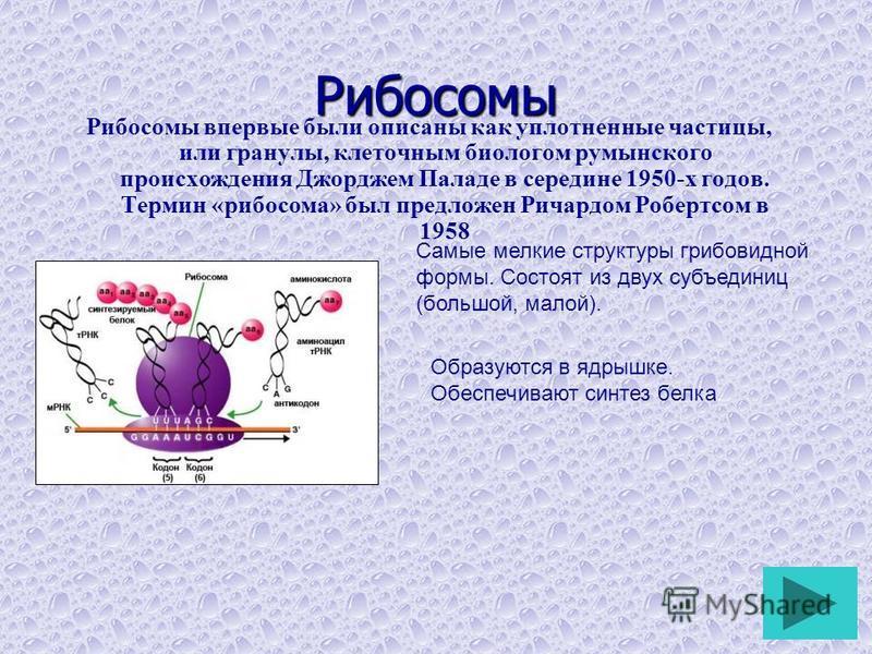 Рибосомы Рибосомы впервые были описаны как уплотненные частицы, или гранулы, клеточным биологом румынского происхождения Джорджем Паладе в середине 1950-х годов. Термин «рибосома» был предложен Ричардом Робертсом в 1958 Самые мелкие структуры грибови