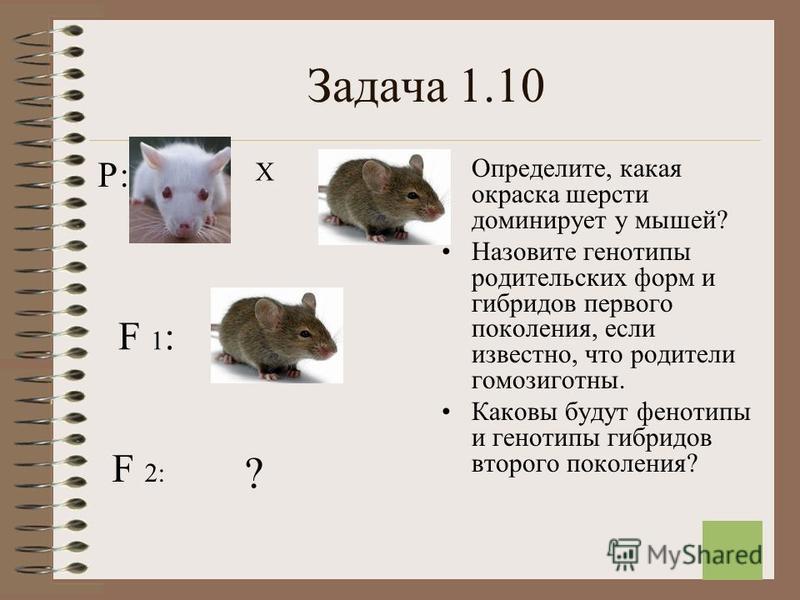 12 Задача 1.10 Определите, какая окраска шерсти доминирует у мышей? Назовите генотипы родительских форм и гибридов первого поколения, если известно, что родители гомозиготныйй. Каковы будут фенотипы и генотипы гибридов второго поколения? Р: Х F 1:F 1