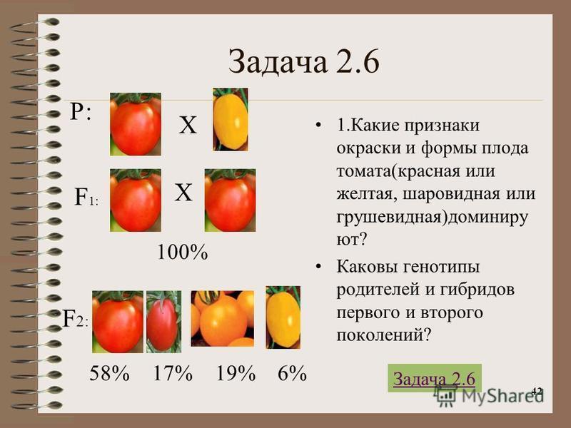 42 Задача 2.6 1. Какие признаки окраски и формы плода томата(красная или желтая, шаровидная или грушевидная)доминируют? Каковы генотипы родителей и гибридов первого и второго поколений? Р: Х Х F 1: F 2: 100% 58% 17% 19% 6% Задача 2.6