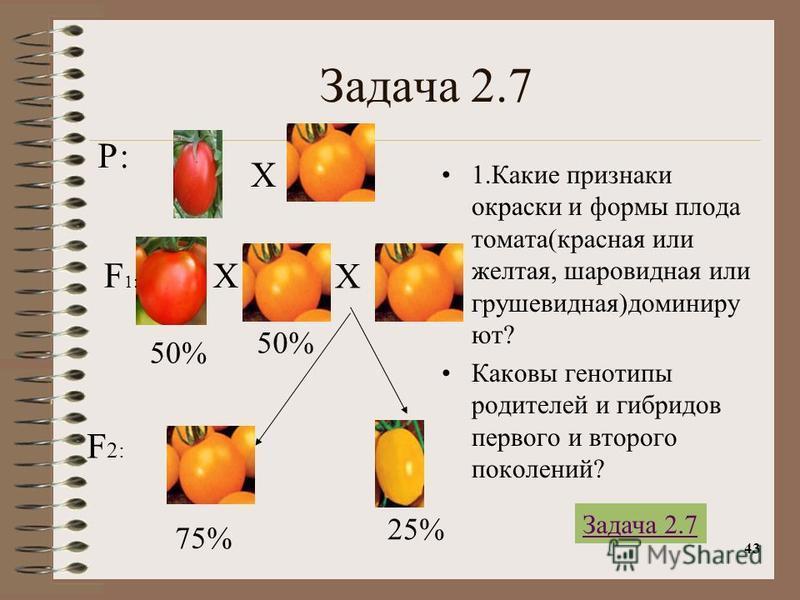 43 Задача 2.7 1. Какие признаки окраски и формы плода томата(красная или желтая, шаровидная или грушевидная)доминируют? Каковы генотипы родителей и гибридов первого и второго поколений? Р: Х Х F 1: F 2: 50% 75% Х 50% 25% Задача 2.7