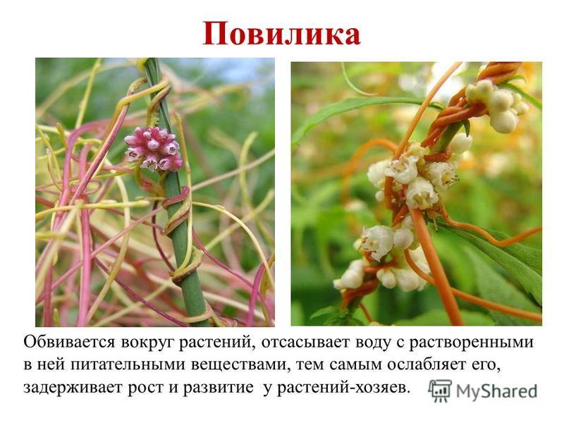 Повилика Обвивается вокруг растений, отсасывает воду с растворенными в ней питательными веществами, тем самым ослабляет его, задерживает рост и развитие у растений-хозяев.