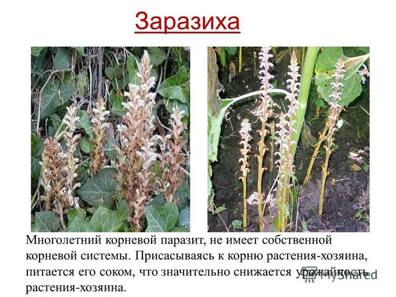 Многолетний корневой паразит, не имеет собственной корневой системы. Присасываясь к корню растения-хозяина, питается его соком, что значительно снижается урожайность растения-хозяина. Заразиха