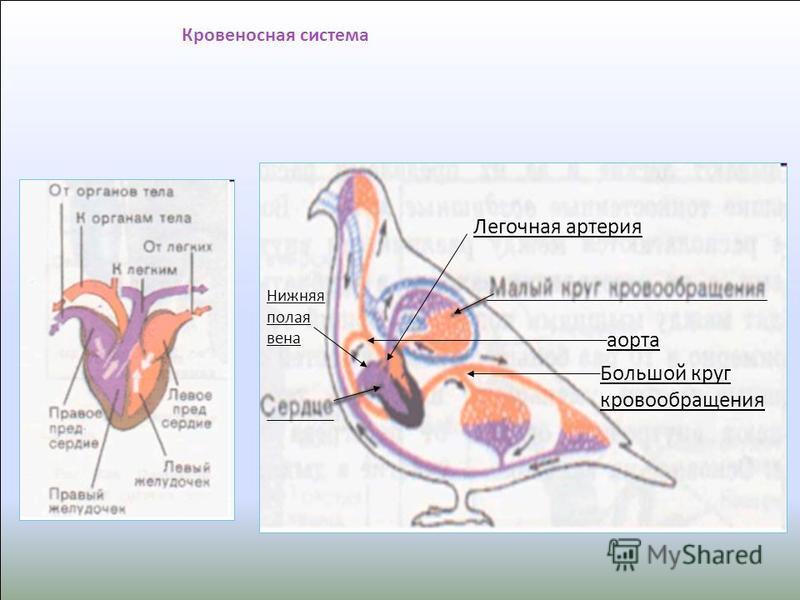 Сердце четырёхкамерное; Два круга кровообращения; Сердце сокращается с большой частотой Ястреб-тетеревятник Самое совершенное кровообращение