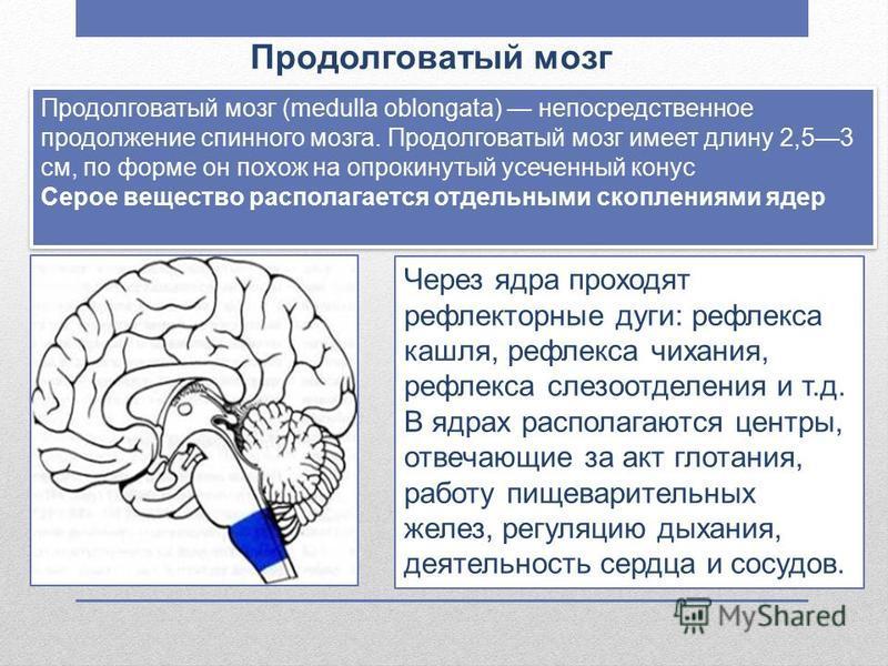 Продолговатый мозг Продолговатый мозг (medulla oblongata) непосредственное продолжение спинного мозга. Продолговатый мозг имеет длину 2,53 см, по форме он похож на опрокинутый усеченный конус Серое вещество располагается отдельными скоплениями ядер П