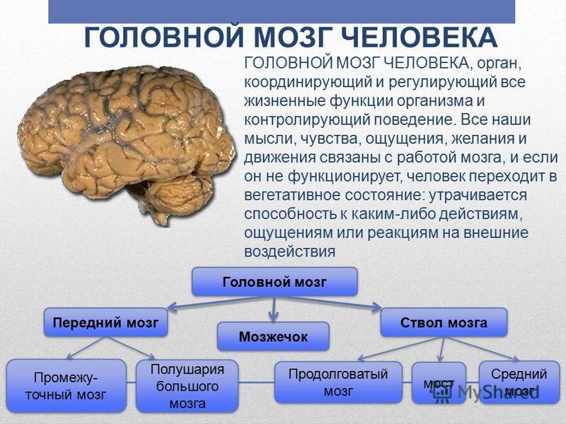 ГОЛОВНОЙ МОЗГ ЧЕЛОВЕКА ГОЛОВНОЙ МОЗГ ЧЕЛОВЕКА, орган, координирующий и регулирующий все жизненные функции организма и контролирующий поведение. Все наши мысли, чувства, ощущения, желания и движения связаны с работой мозга, и если он не функционирует,