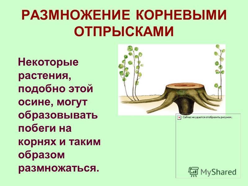 РАЗМНОЖЕНИЕ УСАМИ Надземные столоны (усы) недолговечные ползучие побеги, служащие для вегетативного размножения. Встречаются у многих растений (костяника, полевица ползучая, лесная и садовая земляника). Обычно они лишены развитых зеленых листьев, сте
