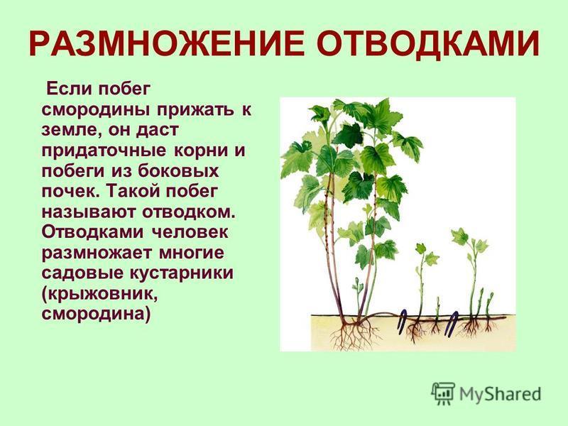 РАЗМНОЖЕНИЕ ВЫВОДКОВЫМИ ПОЧКАМИ У некоторых печеночных мхов есть выводковые почки. Они состоят из 2–3 клеток. У каланхоэ на листьях развиваются также выводковые почки.