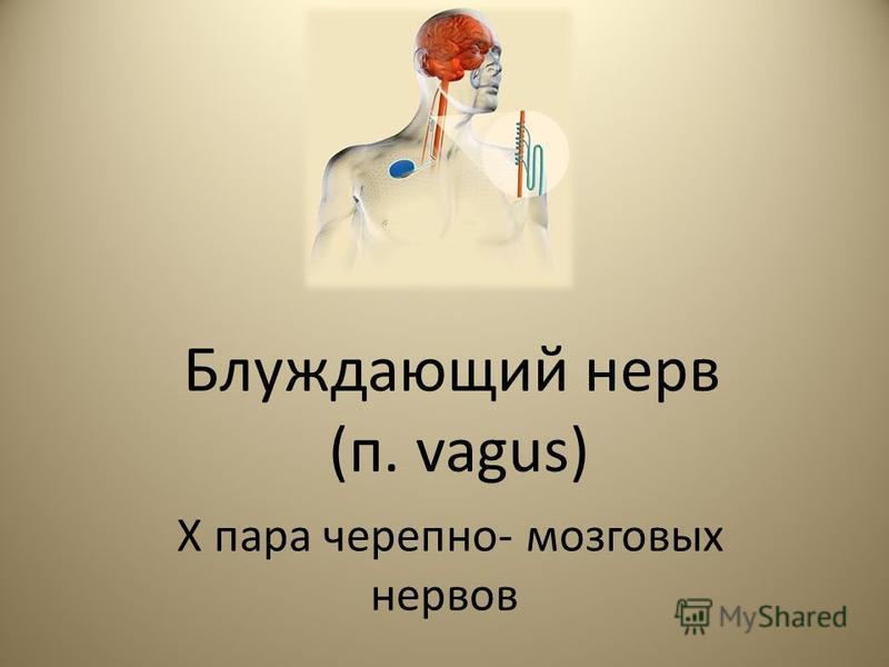 Блуждающий нерв (п. vagus) X пара черепно- мозговых нервов