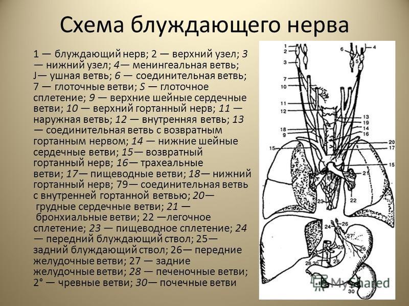Схема блуждающего нерва 1 блуждающий нерв; 2 верхний узел; 3 нижний узел; 4 менингеальная ветвь; J ушная ветвь; 6 соединительная ветвь; 7 глоточные ветви; S глоточное сплетение; 9 верхние шейные сердечные ветви; 10 верхний гортанный нерв; 11 наружная