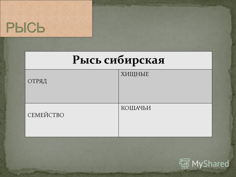 Рысь сибирская ОТРЯД ХИЩНЫЕ СЕМЕЙСТВО КОШАЧЬИ