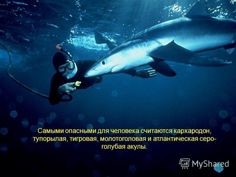 Самыми опасными для человека считаются кархародон, тупорылая, тигровая, молотоголовая и атлантическая серо- голубая акулы.
