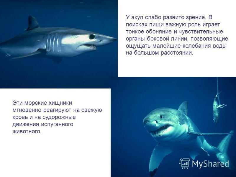 У акул слабо развито зрение. В поисках пищи важную роль играет тонкое обоняние и чувствительные органы боковой линии, позволяющие ощущать малейшие колебания воды на большом расстоянии. Эти морские хищники мгновенно реагируют на свежую кровь и на судо