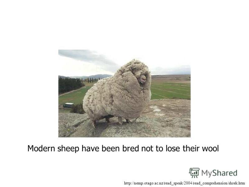 http://nemp.otago.ac.nz/read_speak/2004/read_comprehension/shrek.htm Modern sheep have been bred not to lose their wool