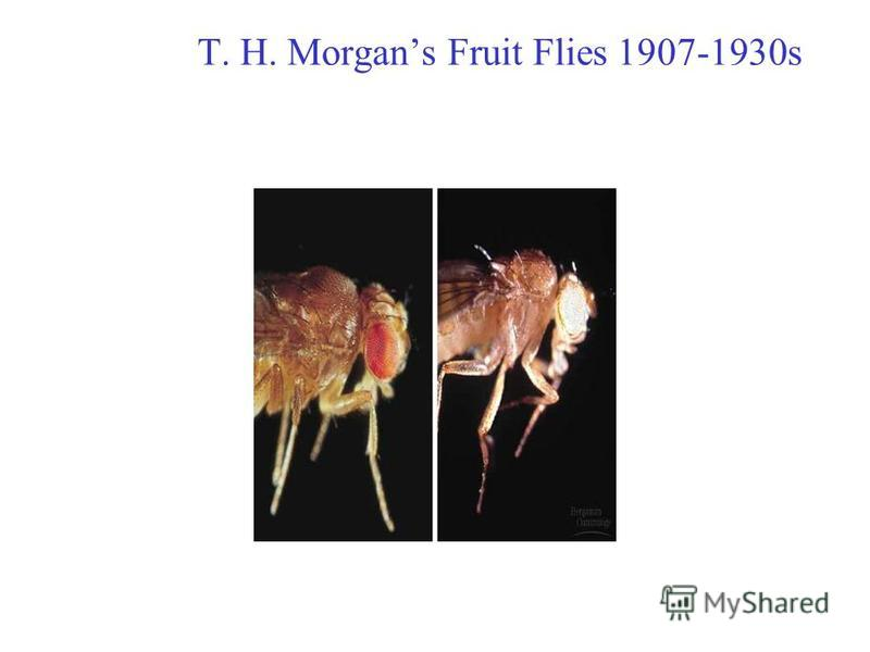 T. H. Morgans Fruit Flies 1907-1930s