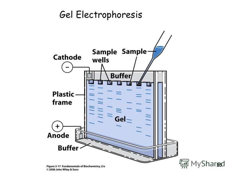 36 Gel Electrophoresis