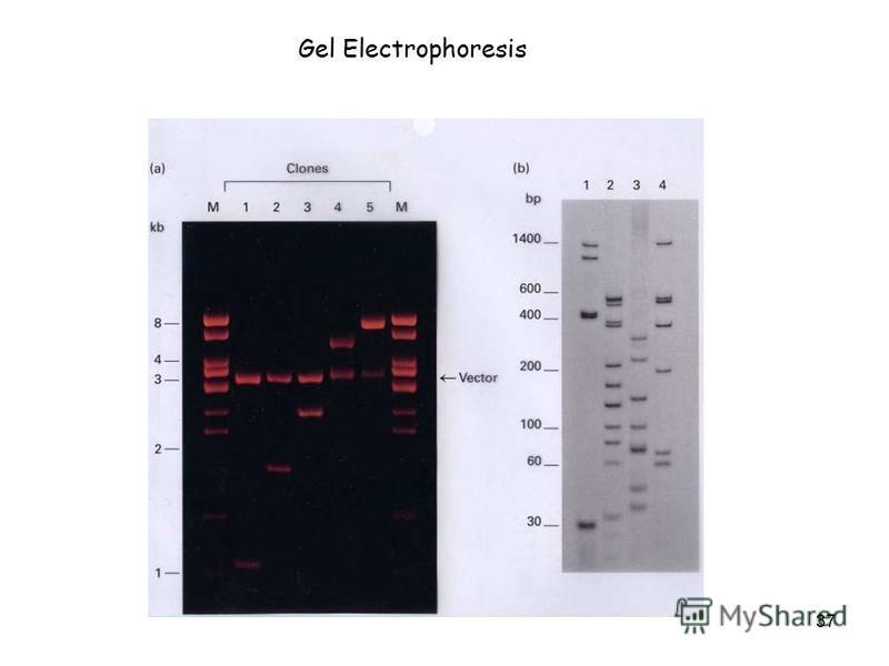 37 Gel Electrophoresis