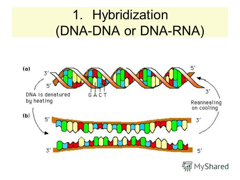 1.Hybridization (DNA-DNA or DNA-RNA)