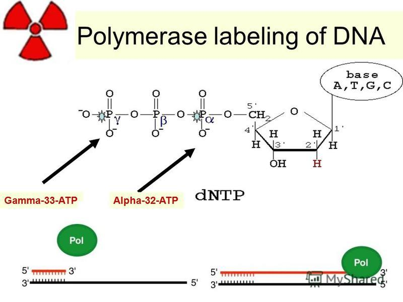 Polymerase labeling of DNA Gamma-33-ATPAlpha-32-ATP