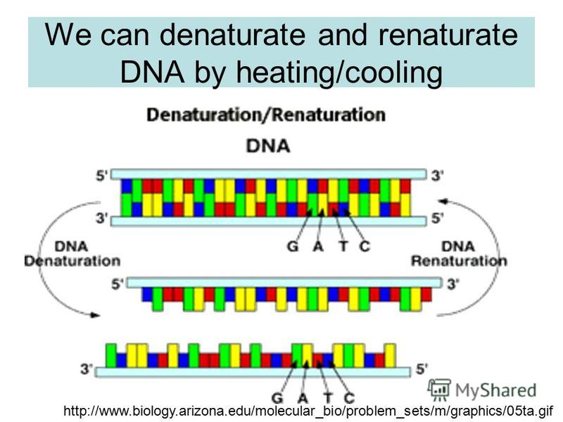 We can denaturate and renaturate DNA by heating/cooling http://www.biology.arizona.edu/molecular_bio/problem_sets/m/graphics/05ta.gif