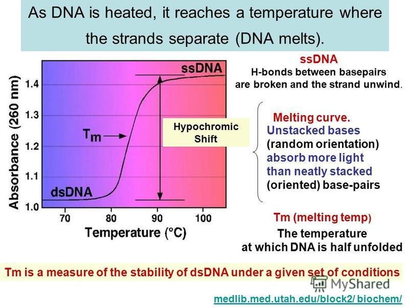 As DNA is heated, it reaches a temperature where the strands separate (DNA melts). medlib.med.utah.edu/block2/ biochem/ ssDNA H-bonds between basepairs are broken and the strand unwind. Unstacked bases (random orientation) absorb more light than neat