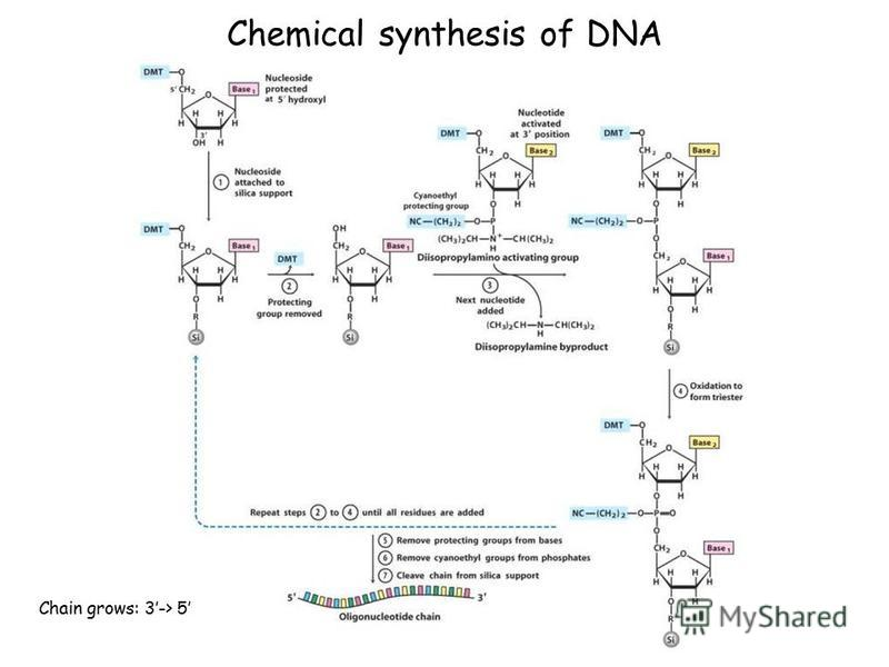 Chemical synthesis of DNA Chain grows: 3-> 5