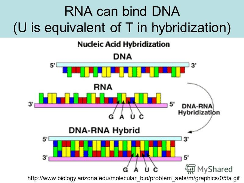 RNA can bind DNA (U is equivalent of T in hybridization) http://www.biology.arizona.edu/molecular_bio/problem_sets/m/graphics/05ta.gif