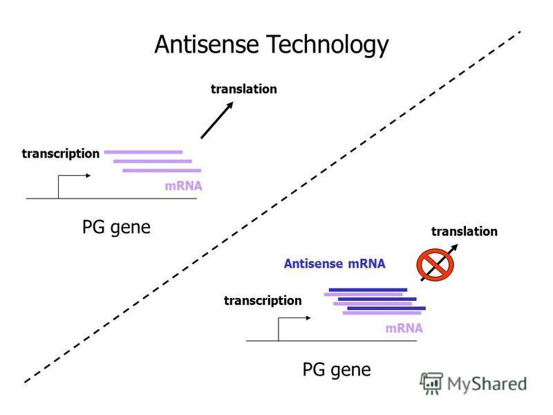 PG gene transcription mRNA translation PG gene transcription mRNA Antisense mRNA translation Antisense Technology