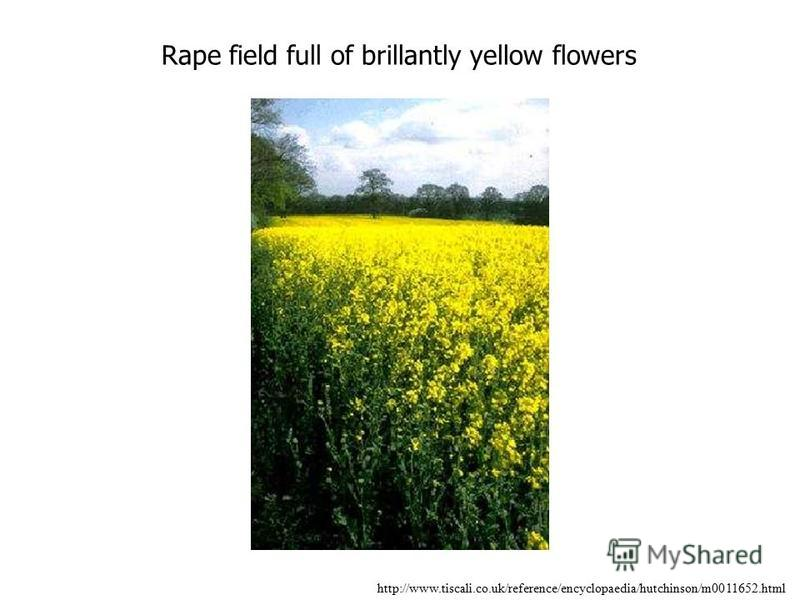 Rape field full of brillantly yellow flowers http://www.tiscali.co.uk/reference/encyclopaedia/hutchinson/m0011652.html