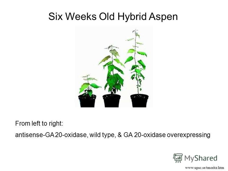 From left to right: antisense-GA 20-oxidase, wild type, & GA 20-oxidase overexpressing www.upsc.se/tmoritz.htm Six Weeks Old Hybrid Aspen