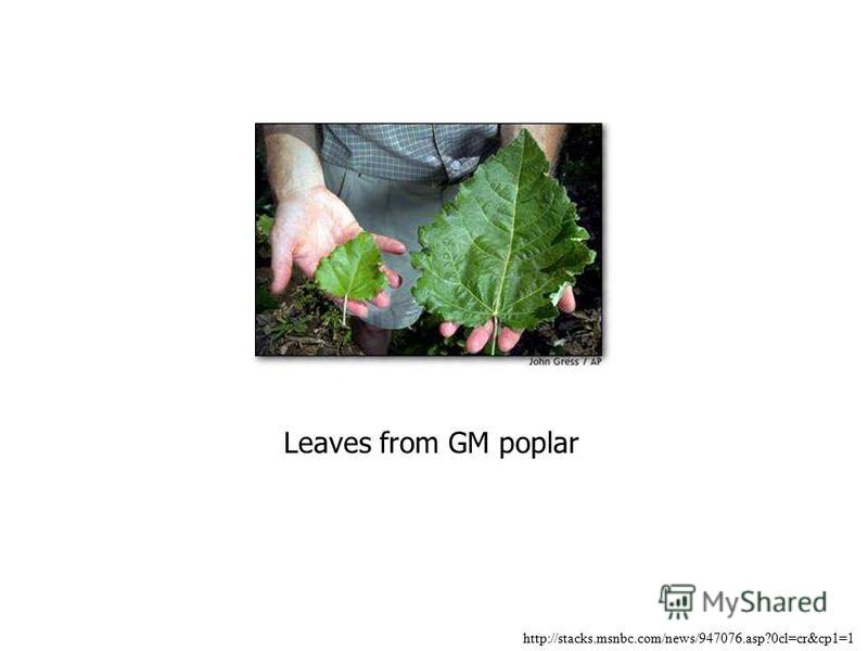 Leaves from GM poplar http://stacks.msnbc.com/news/947076.asp?0cl=cr&cp1=1