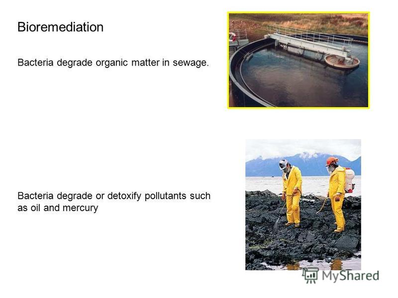 Bioremediation Bacteria degrade organic matter in sewage. Bacteria degrade or detoxify pollutants such as oil and mercury