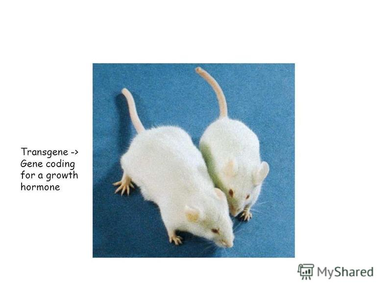 Transgene -> Gene coding for a growth hormone