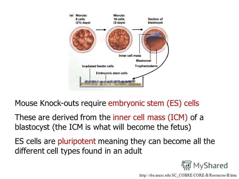 http://cba.musc.edu/SC_COBRE/CORE-B/Resources-B.htm Mouse Knock-outs require embryonic stem (ES) cells These are derived from the inner cell mass (ICM) of a blastocyst (the ICM is what will become the fetus) ES cells are pluripotent meaning they can