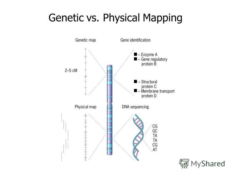 genetic mapping 1 exercise 7 - linkage, crossing-over, & gene mapping in drosophila linkage and crossing-over according to mendel's principle of independent assortment, a dihybrid cross with.