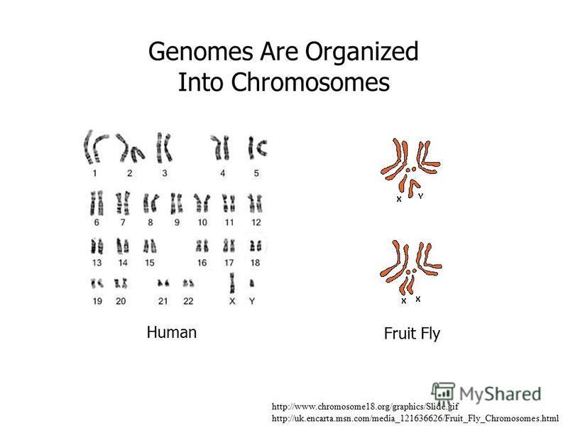 http://www.chromosome18.org/graphics/Slide.gif http://uk.encarta.msn.com/media_121636626/Fruit_Fly_Chromosomes.html Genomes Are Organized Into Chromosomes Human Fruit Fly