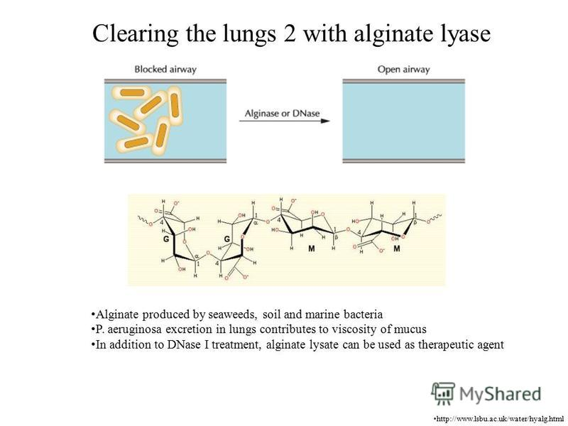 Clearing the lungs 2 with alginate lyase http://www.lsbu.ac.uk/water/hyalg.html Alginate produced by seaweeds, soil and marine bacteria P. aeruginosa excretion in lungs contributes to viscosity of mucus In addition to DNase I treatment, alginate lysa