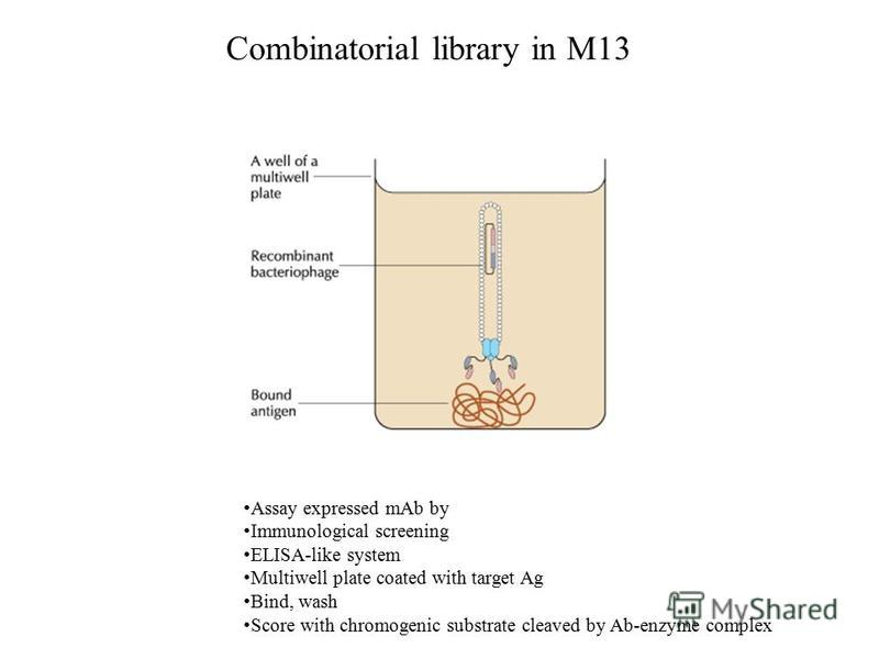 Combinatorial library in M13 Assay expressed mAb by Immunological screening ELISA-like system Multiwell plate coated with target Ag Bind, wash Score with chromogenic substrate cleaved by Ab-enzyme complex