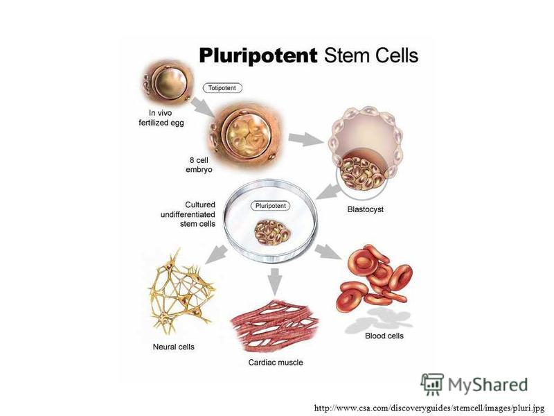 http://www.csa.com/discoveryguides/stemcell/images/pluri.jpg