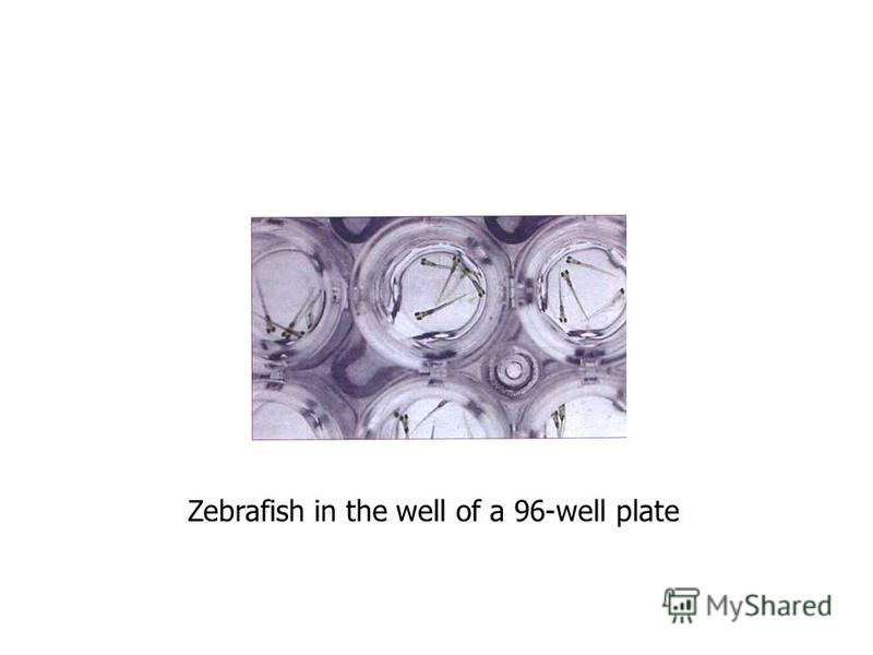 Zebrafish in the well of a 96-well plate