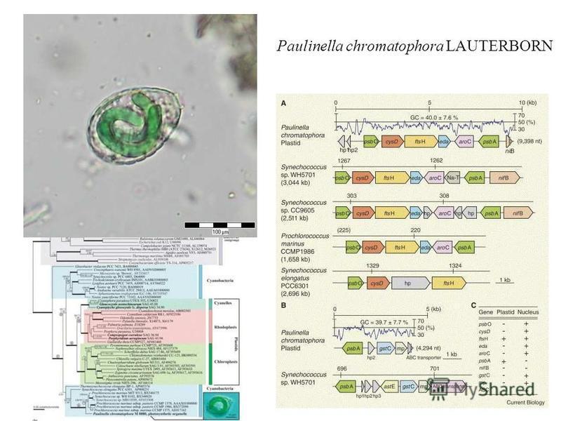 www.sinicearasy.cz Paulinella chromatophora LAUTERBORN