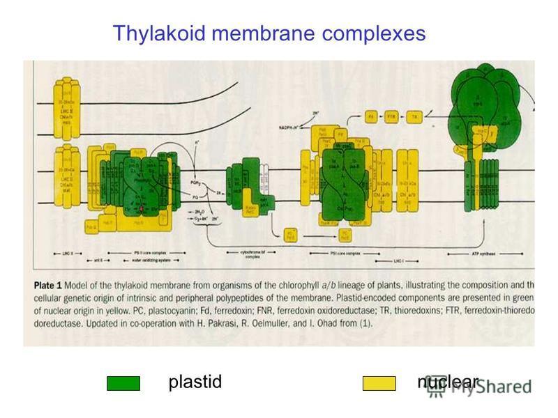 Thylakoid membrane complexes plastid nuclear