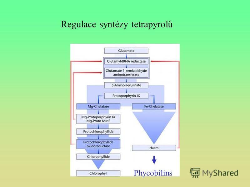 Regulace syntézy tetrapyrolů Phycobilins