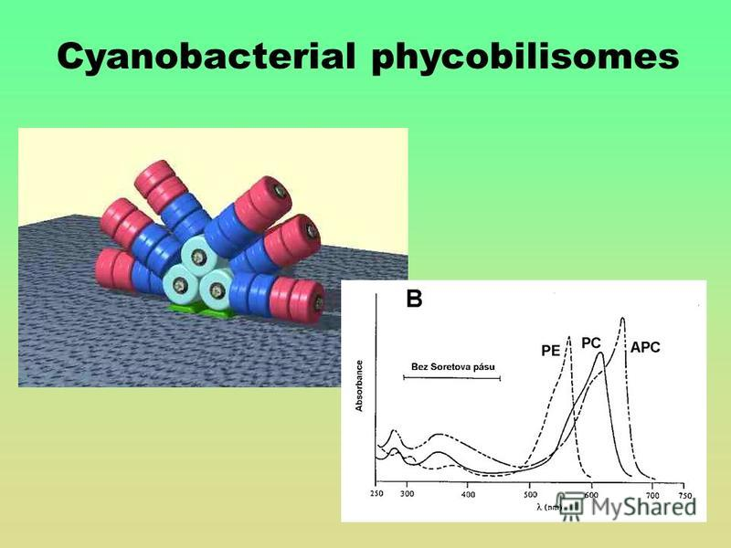 Cyanobacterial phycobilisomes