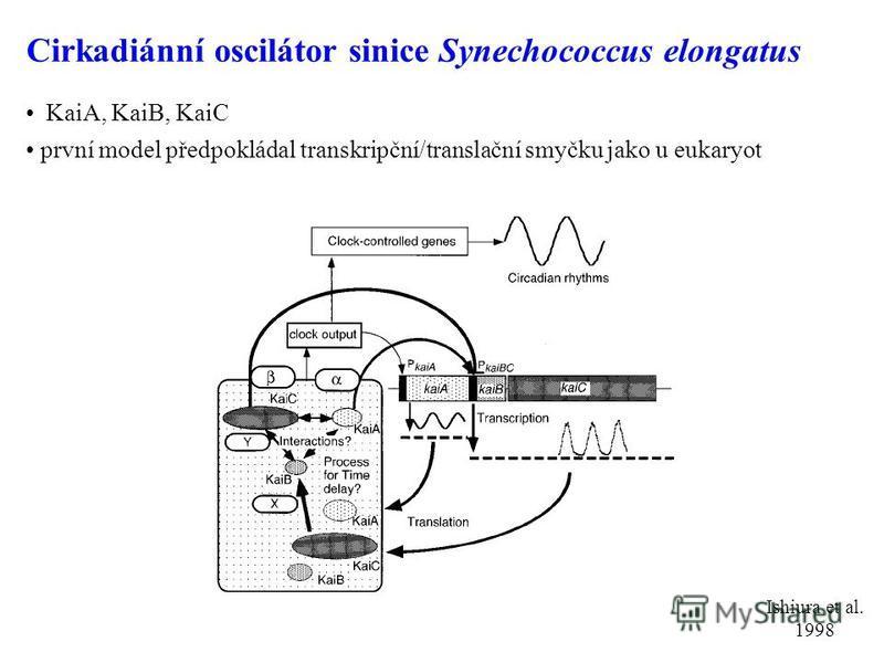Cirkadiánní oscilátor sinice Synechococcus elongatus KaiA, KaiB, KaiC první model předpokládal transkripční/translační smyčku jako u eukaryot Ishiura et al. 1998
