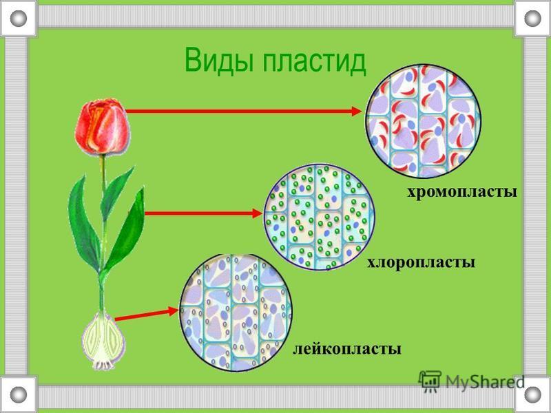 Цитоплазма клетки