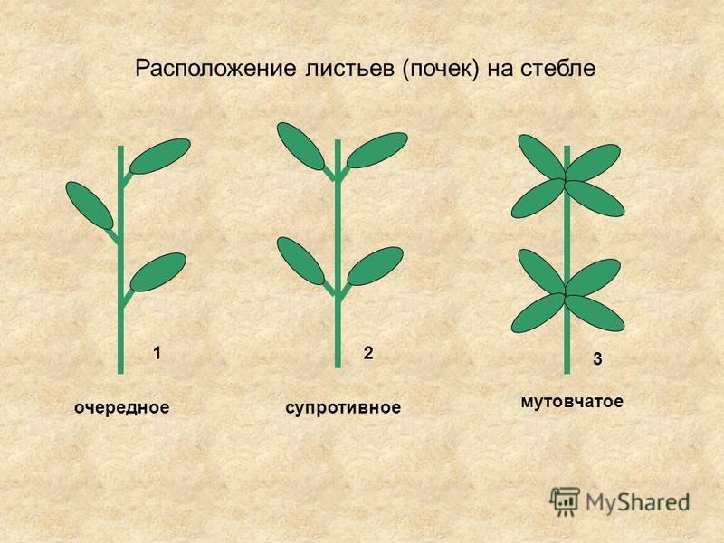 Расположение листьев (почек) на стебле очередное супротивное мутовчатое 12 3